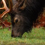 Photo Gallery-Roosevelt Elk