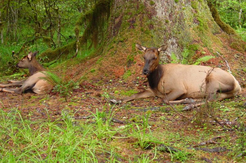 Cow and calf resting