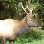 A young bull elk
