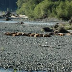 The herd sleeps on the gravel by the river